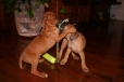 Rhodesian Ridgeback, 2 months, brown